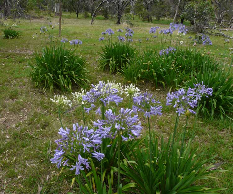 A Patch of Agapanthus in the Dam Area